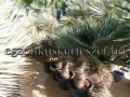 Trachycarpus wagnerianus 30-40cm törzs
