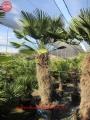 Trachycarpus wagnerianus 130-140cm törzs
