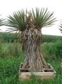 Yucca faxoniana - kétfejű Rendelésre!