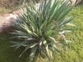 Yucca filamentosa - 60-70 cm csoport