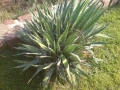 Yucca filamentosa - 40-50 cm