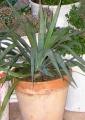Yucca recurvifolia - 30 cm