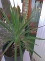 Yucca aloifolia kicsi