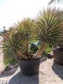 Yucca aloifolia marginata tricolor, nagy
