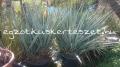 Yucca arizonica 1.3m