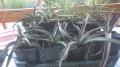 Yucca baccata 40-50cm