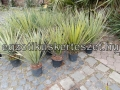 Yucca baccata var vespertina 80-90cm