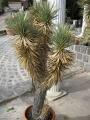 Yucca brevifolia var. jageriana