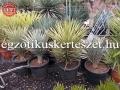 Yucca brevifolia 70-90cm
