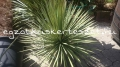 Yucca decipiens x linearifolia hybrid