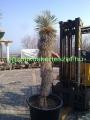 Yucca elata 220cm