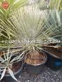 Yucca elata 30cm törzs