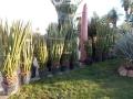 Yucca faxoniana 2m..