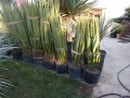 Yucca faxoniana 120-140cm
