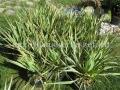 Yucca filamentosa Bright Edge csoport