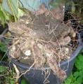 Yucca filamentosa gumók