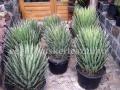 Yucca filifera 80-100cm
