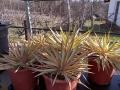 Yucca gloriosa bright star