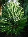 Yucca gloriosa superba