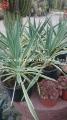 Yucca gloriosa variegata 30cm