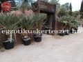 Yucca gloriosa variegata  180cm