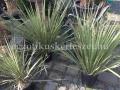 Yucca hybrid