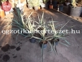 Yucca hybrid /madrensis x treculeana/