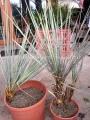 Yucca intermedia
