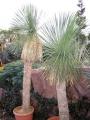 Yucca linearifolia 160cm törzs