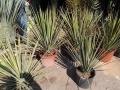 Yucca mixtecana 70-80cm