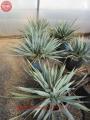 Yucca pallida 50cm