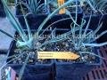 Yucca pallida x karlsruhensis hybrid