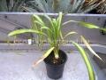 Yucca recuvifolia
