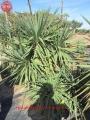 Yucca recuvifolia csoportok.