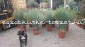 Yucca rostrata 1.5m