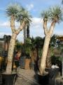 Yucca rostrata 2 fejű 360 - 380cm