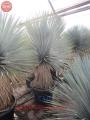Yucca rostrata 38
