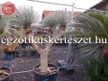 Yucca rostrata 3 fejű