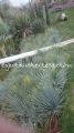 Yucca rostrata 70-80cm