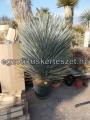 Yucca rostrata extra..