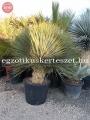 Yucca rostrata green multihead