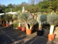Yucca rostrata kék két törzs