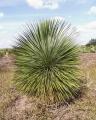 Yucca rostrata zöld 40-50cm-es törzs