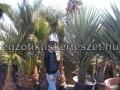 Yucca schottii x filifera hybrid