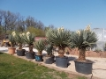 Yucca scotti multihead 2m