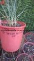 Yucca sp. 1179.68 Utah