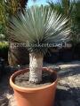 Yucca thompsoniana x rigida hybrid