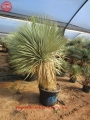 Yucca thompsoniana x rostrata 39