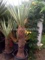 Yucca torreyi hybrid