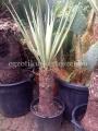 Yucca torreyi hybrid 1